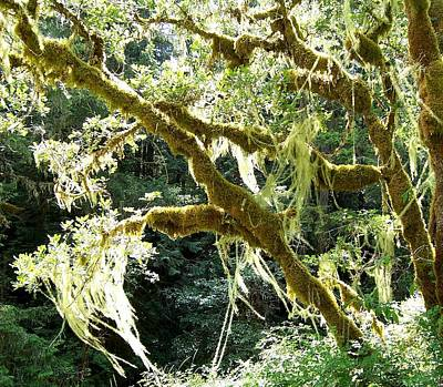 Photograph - Sunlit Hanging Moss On Garry Oak by Peter Mooyman