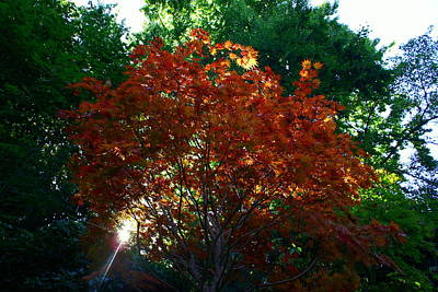 Sunlit Maple Art Print by Jerry Cahill