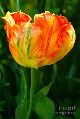 Photograph - Sunlit Parrot Tulip by Byron Varvarigos
