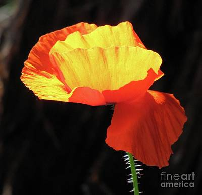 Photograph - Sunlit Poppy by Michele Penner