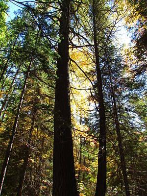 Photograph - Sunlite Pine Trees by Christine Hafeman