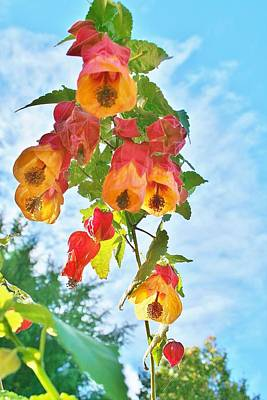 Photograph - Sunny Bells by Kelly Nicodemus-Miller