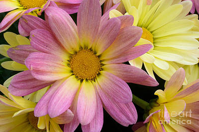 Photograph - Sunny Mums 2 by Jim And Emily Bush
