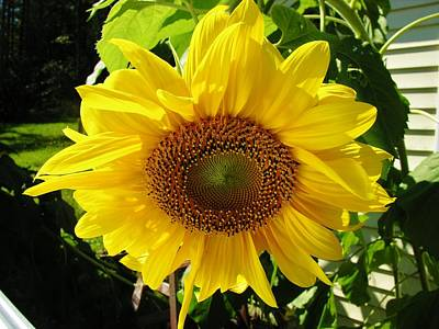 Fruits And Vegetables Still Life - Sunny Sunflower by Sherman Perry