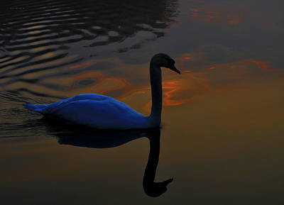 Pinion Photograph - Sunrise Swan by Brian Stevens