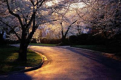 Cherry Blossoms Road Photograph - Sunset And Cherry Trees In Bloom by Peter Krogh