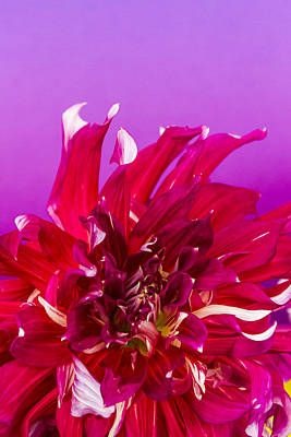 Photograph - Sunset Dahlia 2 by Albert Seger