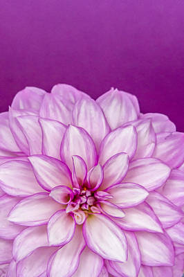 Photograph - Sunset Dahlia 3 by Albert Seger