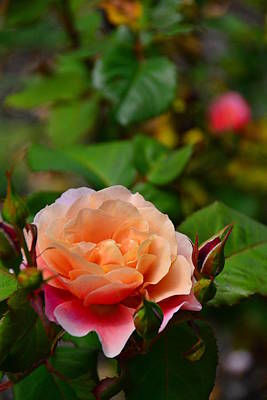 Photograph - Sunset Rose by Bonnie Myszka