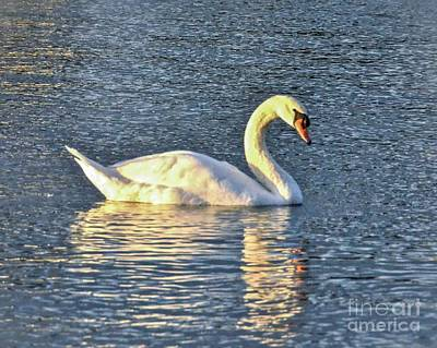 Photograph - Sunset Swan by Carol  Bradley