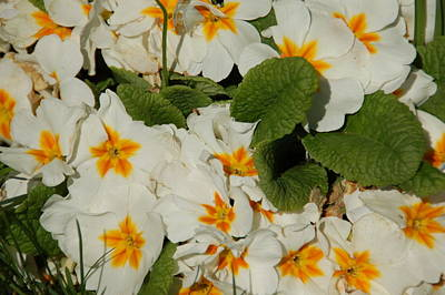 White Flower Photograph - Sunshine by Aimee L Maher Photography and Art Visit ALMGallerydotcom