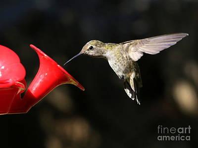 Photograph - Sunshine On Hummingbird by Carol Groenen