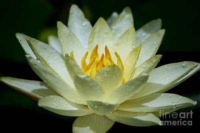 Photograph - Sunshine Water Lily by Living Color Photography Lorraine Lynch