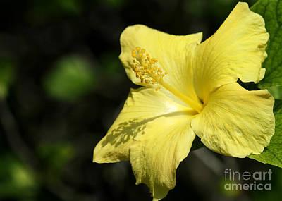 Sunshine Yellow Hibiscus Art Print by Sabrina L Ryan