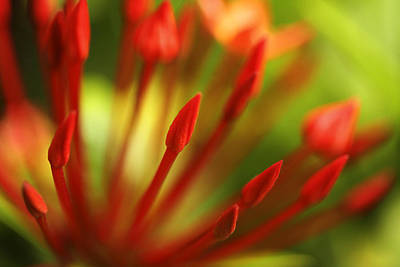 Photograph - Super King Ixora  by Marilyn Hunt