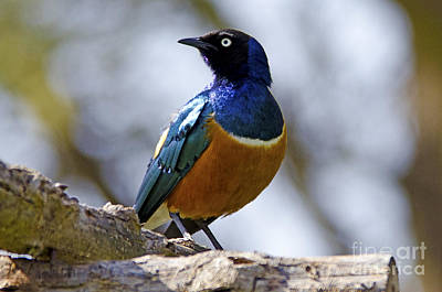 Starlings Digital Art - Superb Starling by Pravine Chester