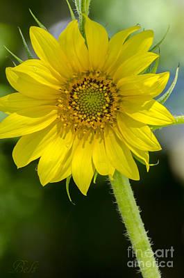 Supermodel Sunflower Art Print by Christine Belt