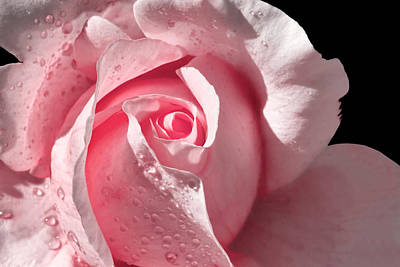 Supple Pink Rose Dipped In Dew Art Print by Tracie Kaska