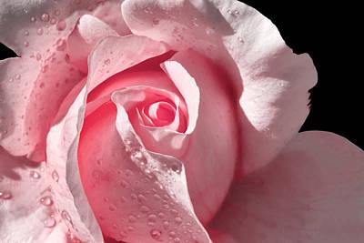 Supple Pink Rose Dipped In Dew Art Print