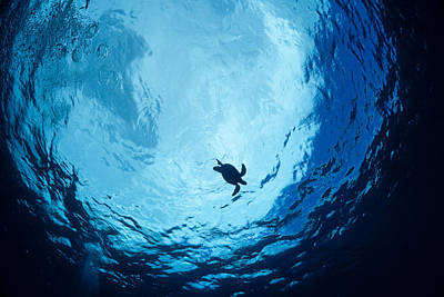 Niihau Hawaii Photograph - Surfacing Sea Turtle by Dave Fleetham - Printscapes