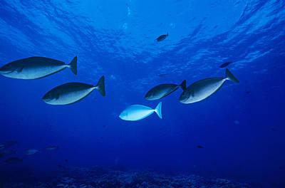 Surgeonfish Photograph - Surgeonfish by Alexis Rosenfeld