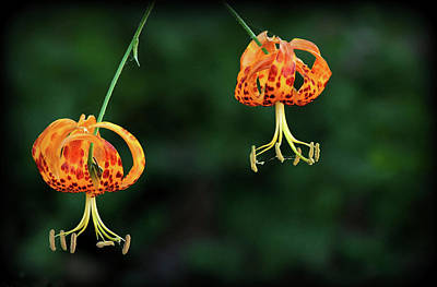 Stamen Photograph - Suspended Lilies In Us by Maureen P Sullivan