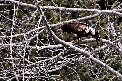British Columbia Photograph - Suspicious Golden Eagle by Don Mann