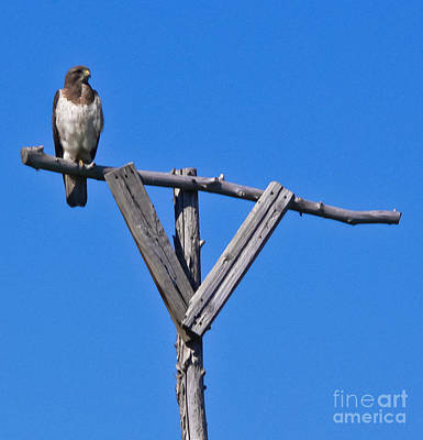 Photograph - Swainson's Hawk Lookout by Harry Strharsky