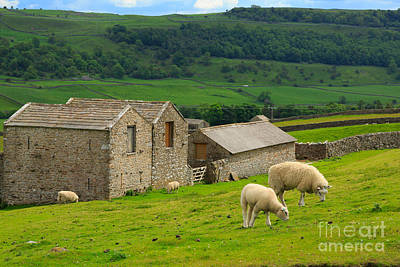 Swaledale Barns And Grazing Sheep Art Print by Louise Heusinkveld
