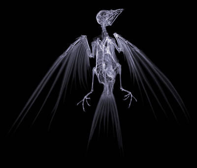 Bird Skeleton Photograph - Swallow, X-ray by D. Roberts