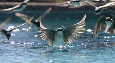 Swallow Photograph - Swallows Drink From Pool by Bryan Allen