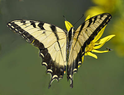Swallowtail And Friend Art Print