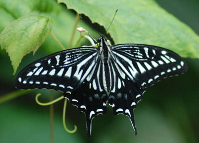 Photograph - Swallowtail At Rest by Richard Bryce and Family
