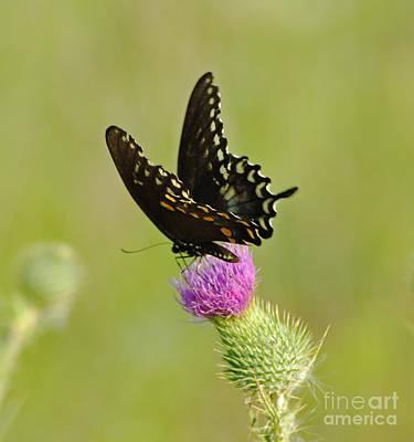 Swallowtail At Work Art Print by Ginger Harris