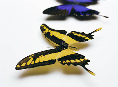 Papilio Thoas Photograph - Swallowtail Butterflies by Lawrence Lawry