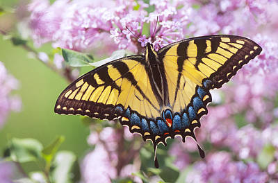 Photograph - Swallowtail Butterfly by Bernard Lynch