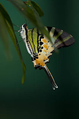 Photograph - Swallowtail Butterfly Hiding In The Shadows by Zoe Ferrie