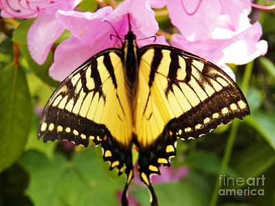 Photograph - Swallowtail Butterfly by Judy Via-Wolff