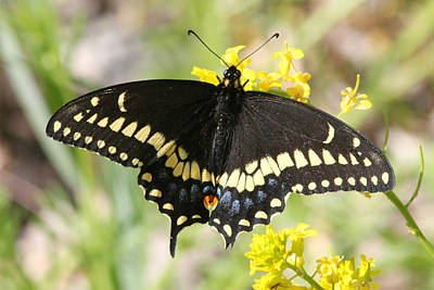 Photograph - Swallowtail Butterfly by Mark J Seefeldt