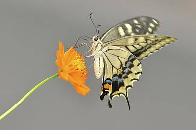 Butterfly On Flower Photograph - Swallowtail Butterfly On Cosmos Flower by Etiopix