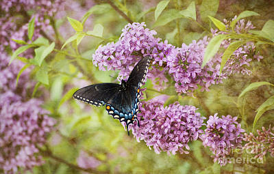 Photograph - Swallowtail Butterfly On Lilac by Cheryl Davis