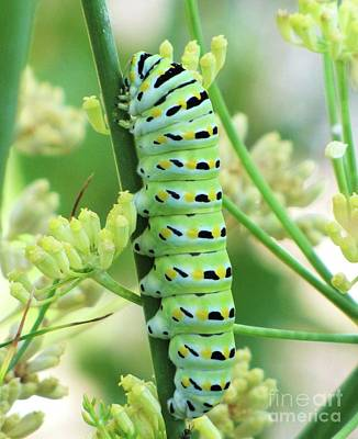 Photograph - Swallowtail Caterpillar by Michele Penner