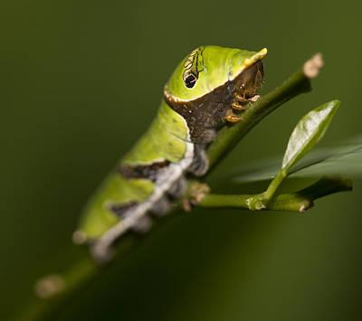 Photograph - Swallowtail Caterpillar by Zoe Ferrie