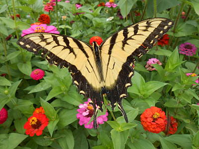 Photograph - Swallowtail In The Flower Bed by Diannah Lynch