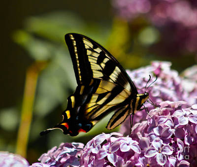 Swallowtail On Lilac Art Print by Mitch Shindelbower