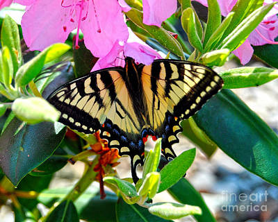 Rhodendron Photograph - Swallowtail Spring by Diane E Berry