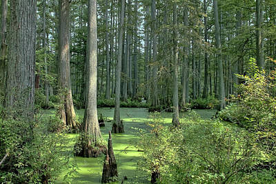 Photograph - Swamp-cypress And Duckweed-greys And Greens by Michael Flood