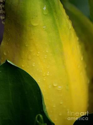 Photograph - Swamp Lantern Lysichiton Americanus by Erica Hanel
