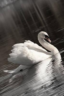 Swan 2 Art Print by Nan Schefcick