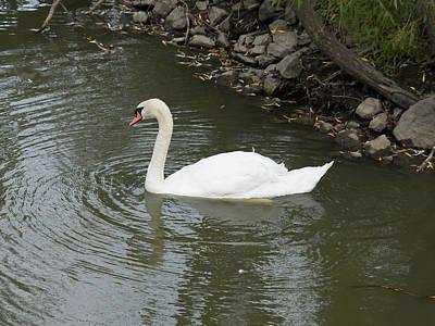 Swan Along The Shoreline Art Print by Corinne Elizabeth Cowherd
